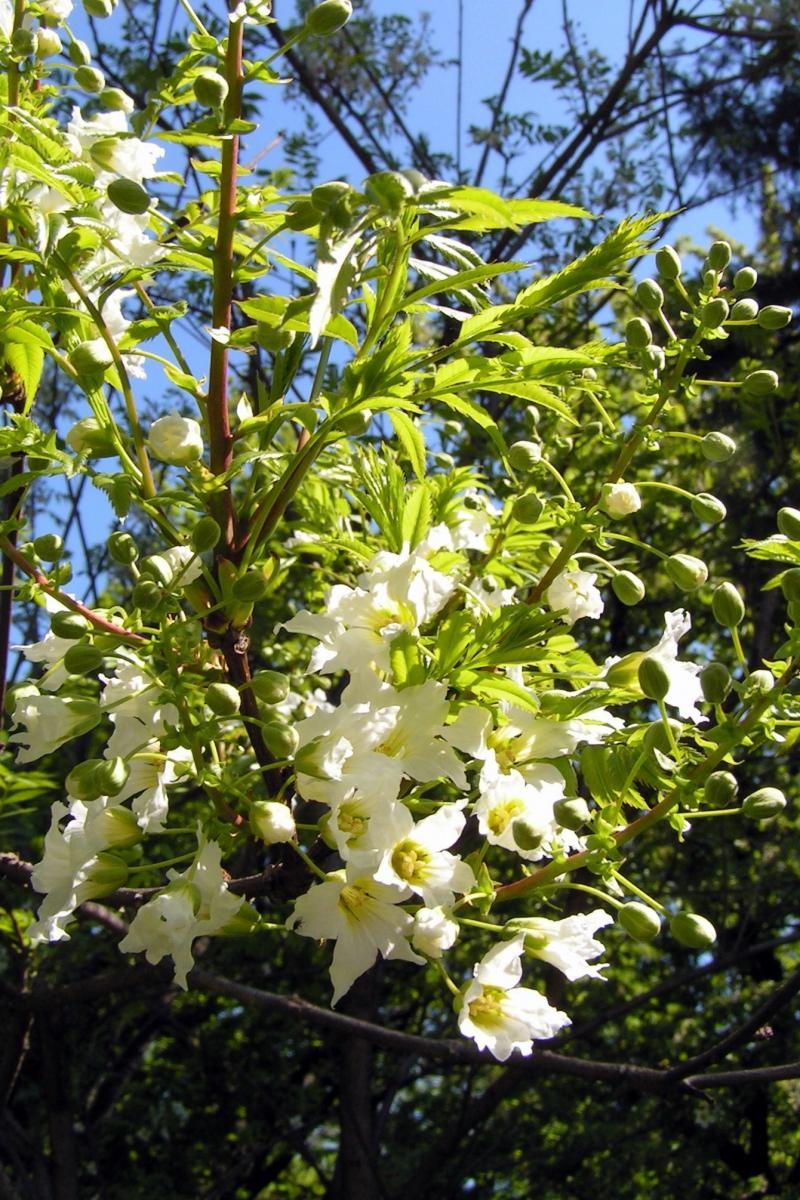 Kvetoucí Žlutoroh jeřábolistý
