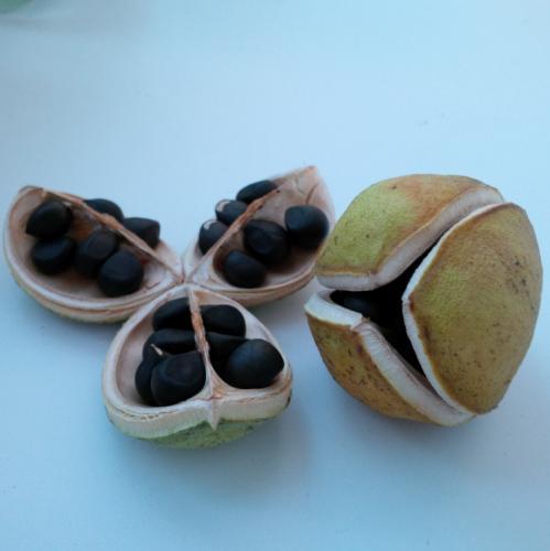 Plod a semena žlutorohu